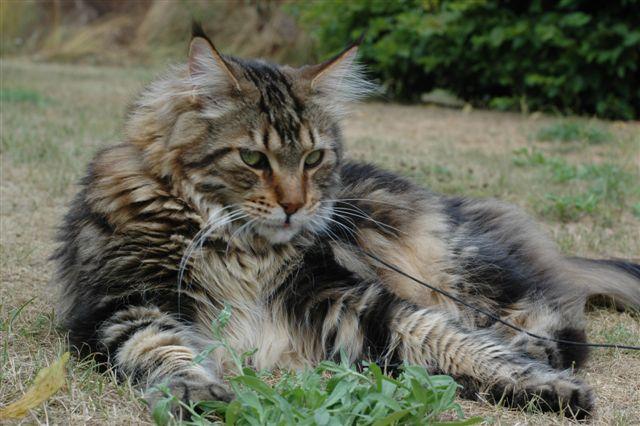 Maine coon - Raspresentationer - Katter iFokus Tabby Norwegian Forest Cat