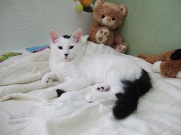 aa301b74da Turkisk van - Raspresentationer - Katter iFokus
